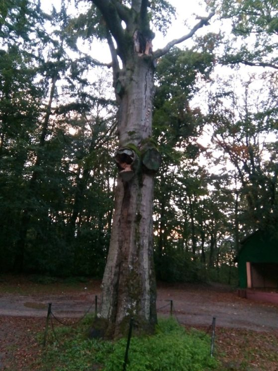 Najstarsze drzewo w Więcborku 600 letni buk pomnik przyrody umiera w lasku miejskim za sprawą bezczynności władz miejskich
