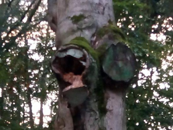 Najstarsze drzewo w Więcborku 600 letni buk pomnik przyrody umiera w lasku miejskim za sprawą bezczynności władz miejskich - Tomasz Roman Bracka
